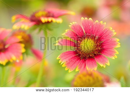 Gaillardia Flowers With Multiple Colors And Bright Colors