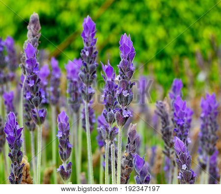 Lavender flowers in the field. Lavandula angustifolia. Floral background. Selective focus.