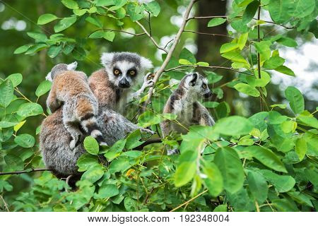 Portrait of adult lemur katta (Lemur catta) on a tree with two cubs