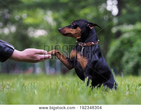 The dog gives a paw man. The concept of friendship of the pet and the owner loyalty and devotion. Nature green grass