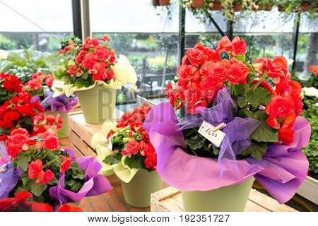 buying flowers at a garden center. selects bright colorful potted plants flowers. Flowers in pot in fertilized soil