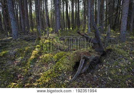 Thick forest in Saskatchewan Canada catching morning light