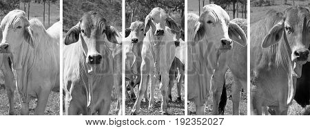 Black and white panoramic cow banner set with brahman cattle in rural Australia