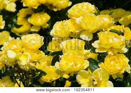 Group of yellow rose flowers in garden
