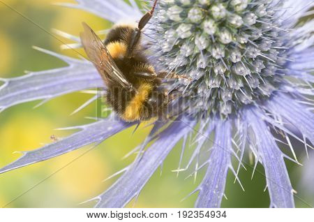 Sea Holly with large bumble bee in close up