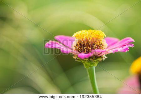 Zinnia Flower On Nature Background