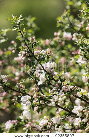 Branches of a blossoming apple tree on a spring day