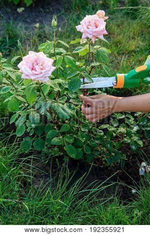 Gardener Pruning Bush Roses By Pruning Shears