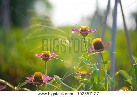 Zinnia flower on green background in garden