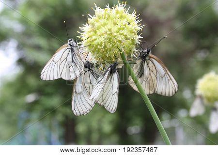 Butterflies Are White On A Globular Light Flower