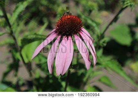 Echinacea purpurea flower (eastern purple coneflower) with bee.