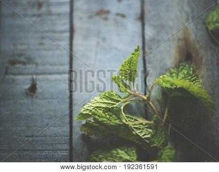 Natural organic fresh edible mint