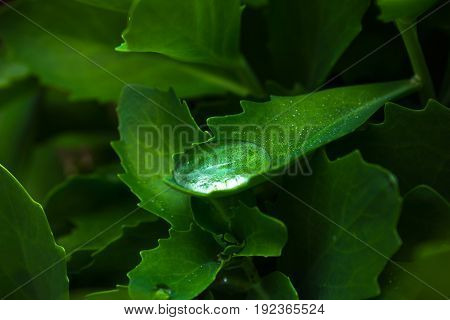 Water drop on green sedum leaf. Garden plant leaf after the rain. Morning dew on plant leaf. freshness concept image for product package design or banner template. Exotic greenery