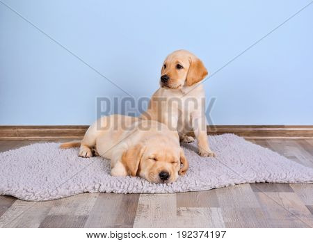 Cute labrador retriever puppies on rug at home