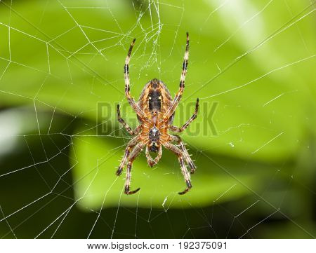 Spider in the web, devouring an insect,  bottom view