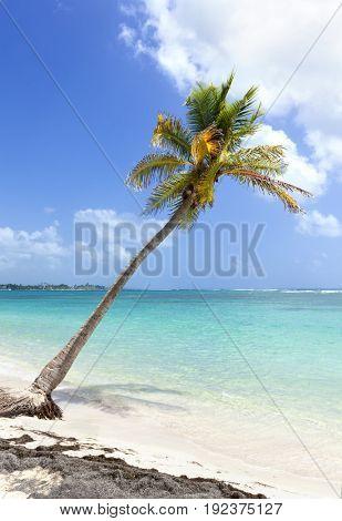 Single Coconut palm tree at Caribbean Sea beach