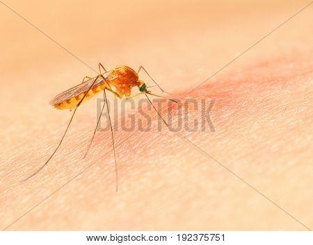 Sucking mosquito, dangerous vehicle of zika, dengue, chikungunya, malaria and other infections.