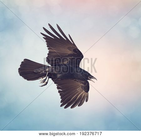 American Crow in flight against the sky