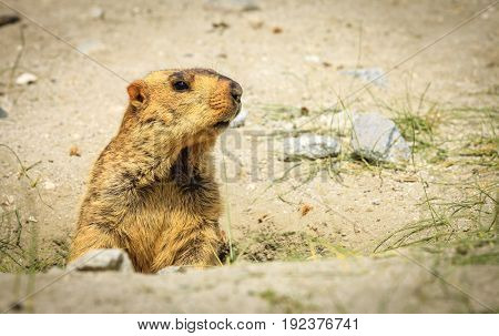 Himalayan marmot in highlands of Kashmir in India