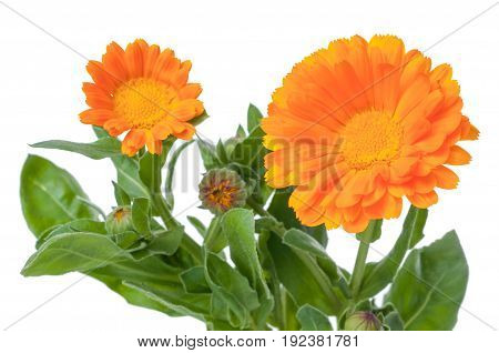 Close-up Calendula. Flowers with leaves isolated on white