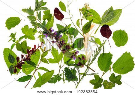 Varied leaves plants and herbs isolated on a white background