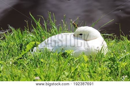 White duck Anas platyrhynchos lies on the shore of the lake in the Gatchina park