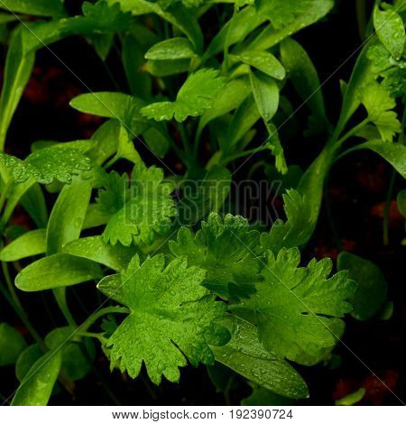 Young Leafs of Cilantro with Water Drops closeup on Blurred Greens. Focus on Foreground