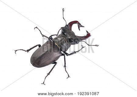 Male Stag Beetle Bug Insect. Close-up top view isolated on white background