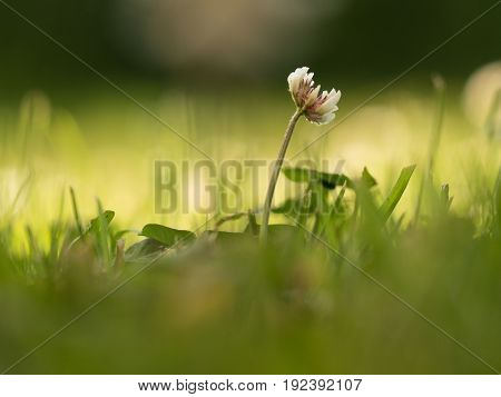 Blooming white clover in the shadow and blurred background with sunlight low depth of field