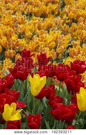 Field of red, yellow and orange tulips in the Netherlands