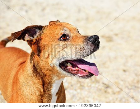 Cheerful American pit bull terrier close up