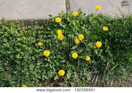 Bright Yellow Flowers Of Dandelions Near Concrete Slabs