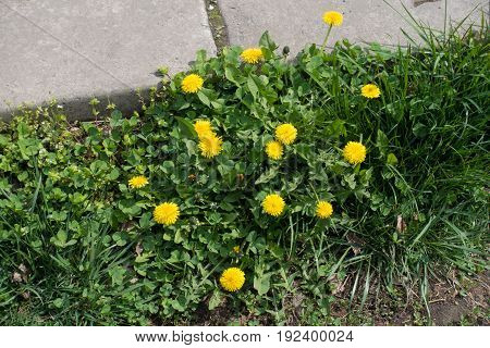 Flowering Dandelions On The Road Side In Spring