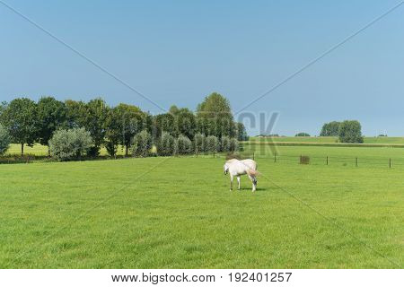 single white horse in a dutch meadow