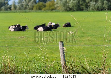 grazing frisian-holstein cows in a dutch meadow
