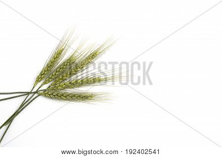 Top quality green wheat spike pictures for sample work and project designs