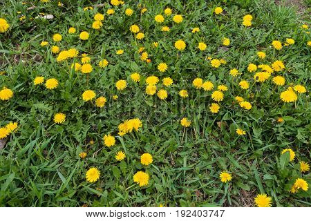 Uncultivated Grass Land With Lots Of Dandelions