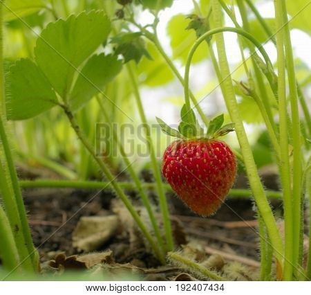 I took this picture of a strawberry from my garden before a beast feeds on it. I ate it after and it was very good.