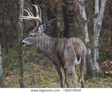 Deer White Tail Buck Close Up Portrait