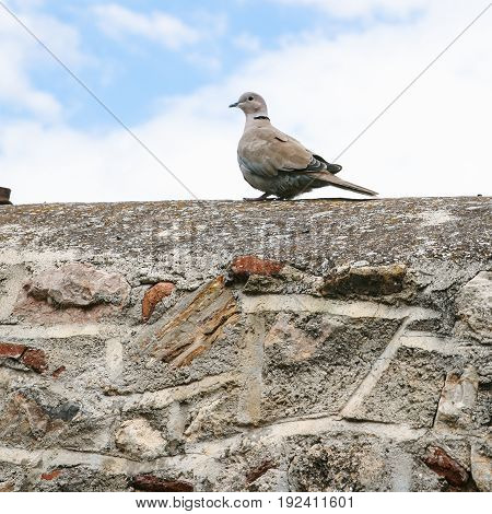 Turtledove Bird On Stone Wall Of Patio In Athens