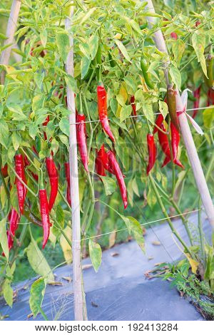 Red chili peppers on the tree in garden