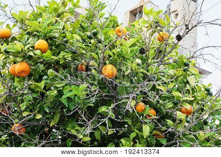 Mandarine Tree And Medieval Faro Cathedral