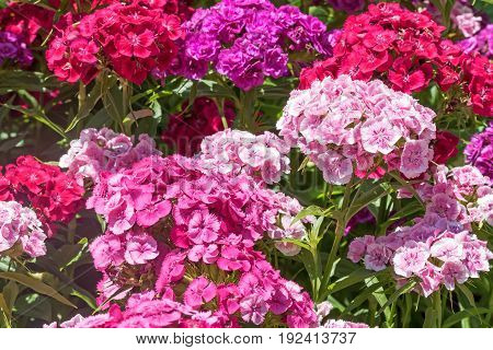 Overall view of the group of Summer flowering Sweet William (Dianthus barbatus )