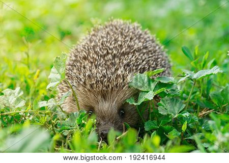 The picture shows a hedgehog on the grass