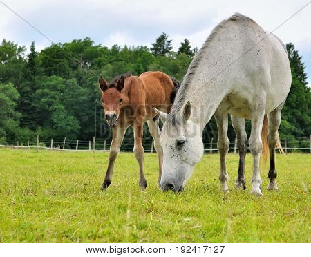 brown foal and white mare in a meadow