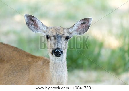 Black-tailed Deer (Odocoileus hemionus) Head, Adult Female. San Mateo County, California, USA.