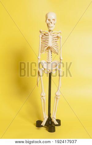 Human skeleton on a yellow background .
