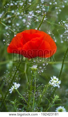 poppy.  Some poppies on green field in sunny day