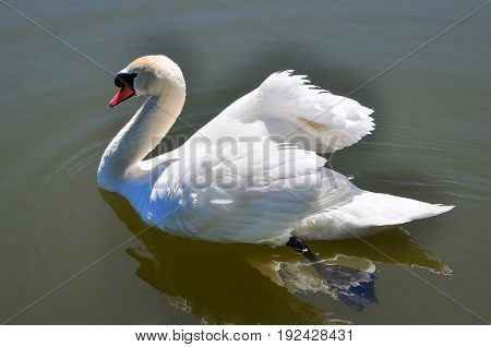 beautiful adult white Swan on a pond.