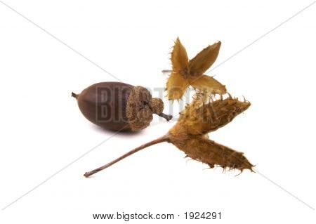 Beech And Acorn Seeds